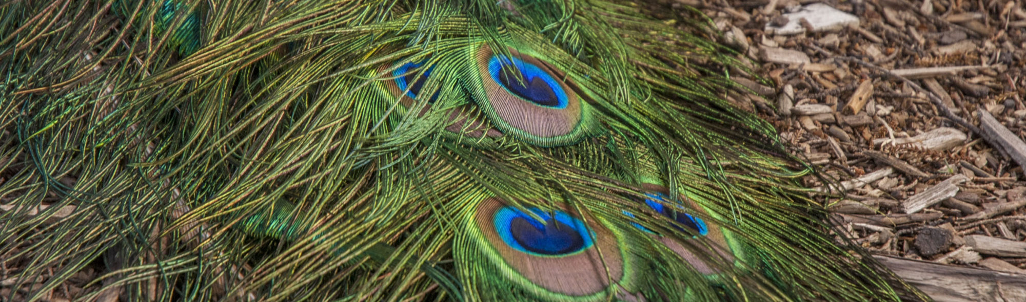 The Peacock Dreaming Blog